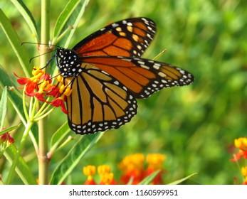 Gulf Fritillary butterfly on milkweed
