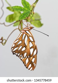 Gulf Fritillary butterfly shortly after emerging from chrysalis, hanging onto Passionvine leaves, letting his wings straighten out and dry