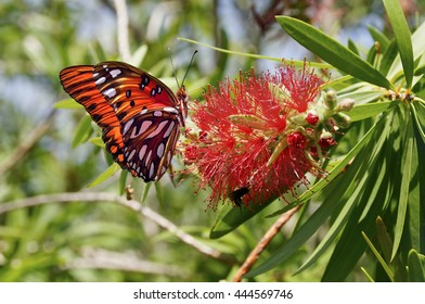 Gulf fritillary butterfly sipping nectar from a red flower.