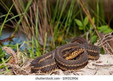 Gulf Salt Marsh Snake (Nerodia clarkii)