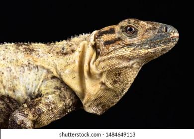 Gulf spiny-tailed Iguana (Ctenosaura acanthura)