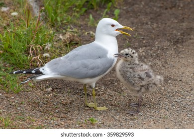 Gull and chick