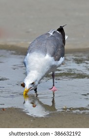 Gull drinking in a puddle
