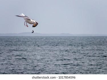 Gull Dropping Crab