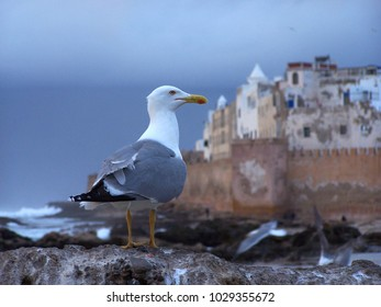 Gull in Essaouira waiting for something to eat