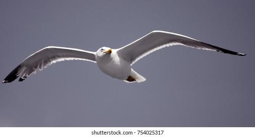 Gull in flight 5