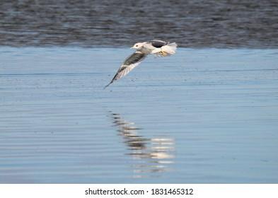 Gull in flight bird over water