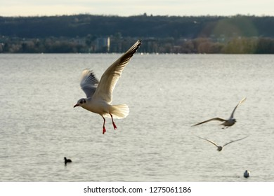 gull flying aerobatics in sunlight on Verbano lake waters, shot in bright winter light at Angera, Verbano, Varese, Lombardy, Italy