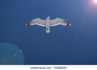 Gull flying in the blue sky