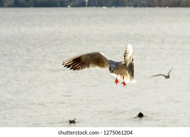 gull flying steep veers in sunlight on Verbano lake waters, shot in bright winter light at Angera, Verbano, Varese, Lombardy, Italy