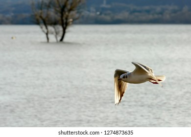 gull flyinging at high speed in sunlight on Verbano lake waters, shot in bright winter light at Angera, Verbano, Varese, Lombardy, Italy