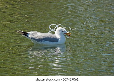 gull with its head caught in a plastic six-pack holder pollution