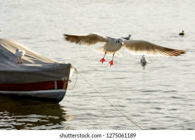 gull hovering in sunlight on Verbano lake waters, shot in bright winter light at Angera, Verbano, Varese, Lombardy, Italy