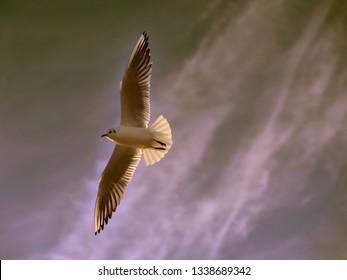 Gull (Larus ) in flight seen from below on cloudy sky background, taken against the light