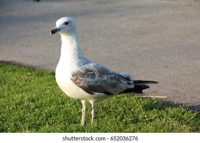 Gull. Location: Almedalen in Visby, Sweden.