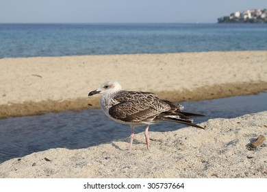 Gull Mediterranean (Larus melanocephalus) on sea shore