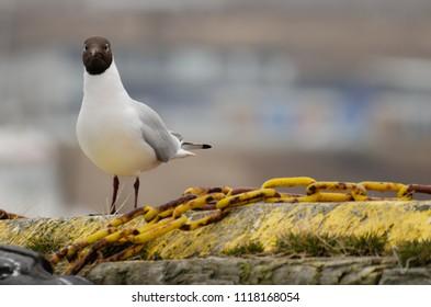 Gull and nature background Black headed Gull Chroicocephalus ridibundus