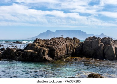 Gull on coastal rocks against a background of Table Mountain in Cape Town