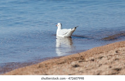 Gull on the lake