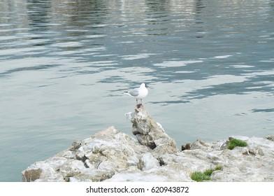 Gull on the Ohrid lake, Macedonian republic