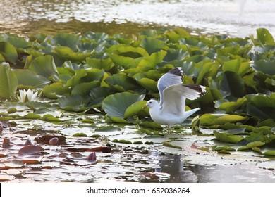 Gull on water. Location: Almedalen in Visby, Sweden.