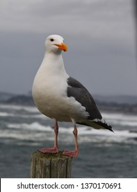 Gull Perched on Post