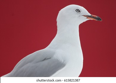 Gull Portrait on Red Background