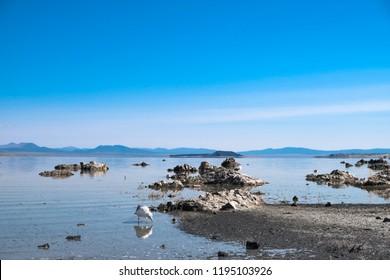 Gull rookeries feeding in Mono Lake