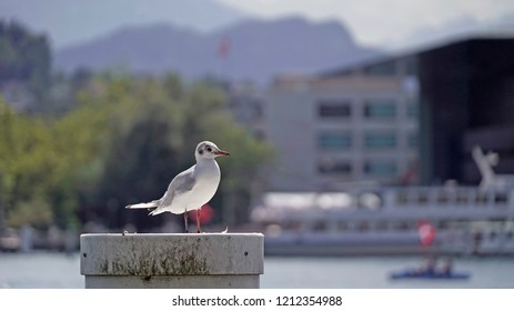 Gull sitting by lake Luzern