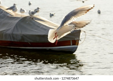 gull skillfully flying in sunlight on Verbano lake waters, shot in bright winter light at Angera, Verbano, Varese, Lombardy, Italy