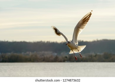 gull spread wings flying aerobatics in sunlight on Verbano lake waters, shot in bright winter light at Angera, Verbano, Varese, Lombardy, Italy
