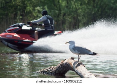 a gull is standing on a log, in a pond. in the background, a man is pumping waves on a motor boat.