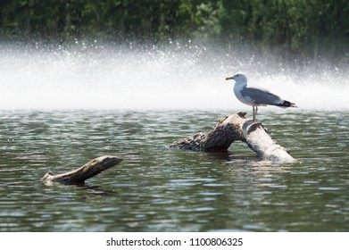a gull is standing on a log, in a pond. splashes in the background