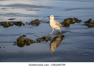 Gull striding in the water of a receding wave at the beach, Copalis Beach, Ocean Shores, Washington State