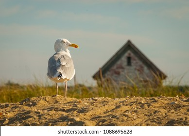 A gull suns itself on the Brandt Point beach, Nantucket, MA