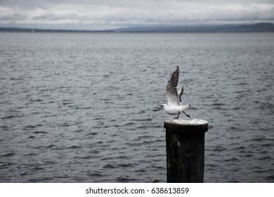 gull taking of from a wooden pole at the harbor of Rorschach, Switzerland