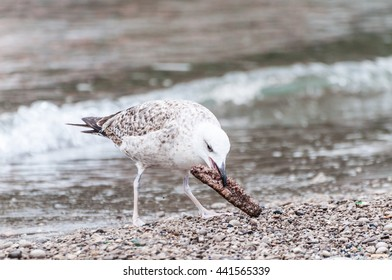Gull that pecks food in shore to the sea