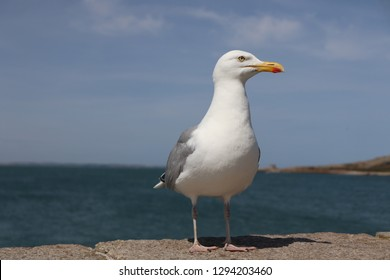 Gull waiting for scraps