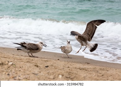 Gulls arguing for food on the beach against the background of the waves