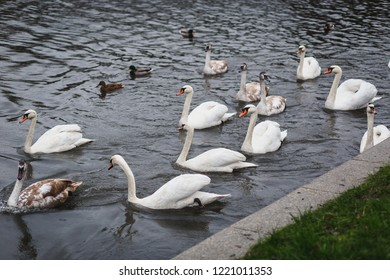 Gulls, ducks, waterfowls and swans swimming together in the river