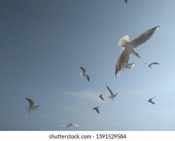 Gulls in flight in the blue sky.