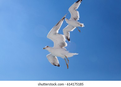 Gulls flying on the background of azure blue sky