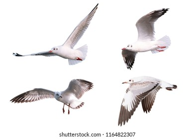 The Gulls is flying. Seagulls on white background