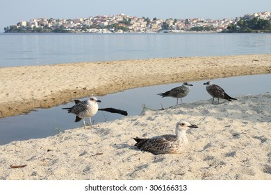 Gulls Mediterranean (Larus melanocephalus) on sea shore