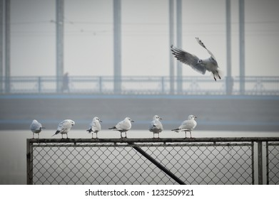 Gulls near the river, the bridge in the background, foggy weather