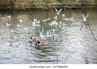 Gulls scramble  and compete for food in the canal while ducks swim by oblivious