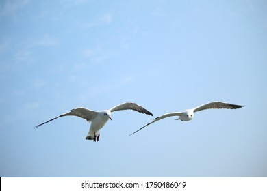 Gulls or seagulls or beach chickens are seabirds of the family Laridae in the suborder Lari.