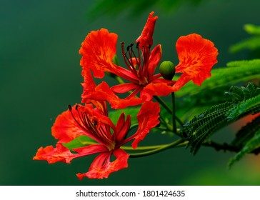Gulmohar flower- Delonix regia, it is grown as anornamental treeand in English it is given the nameroyal poinciana,flamboyant,flame of the forest.