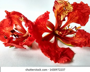 Gulmohar flower, flame of the forest. It is noted for its fern-like leaves and flamboyant display of flowers. Red beauty, isolated.