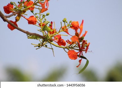Gulmohar flower in its full bloom